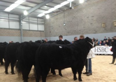 Bulls in the ring Stirling