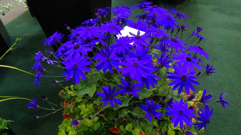 Blue daisy is caad a sinetti.