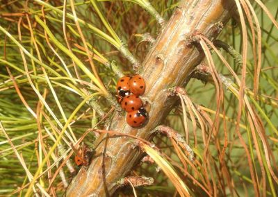 Episode 5 - Ladybirds at Logan Botanic Garden