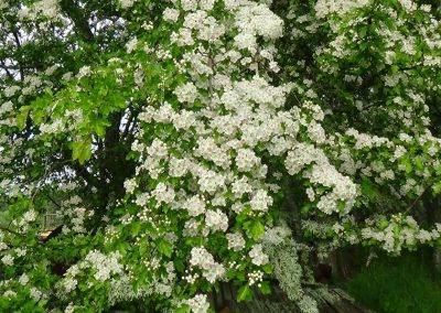Episode 6 - Hawthorn flooers