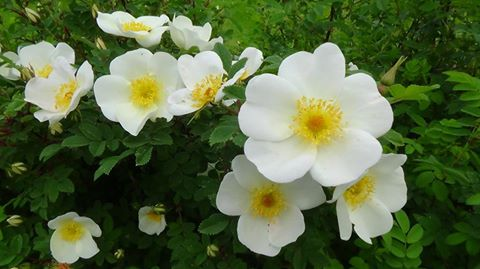 This is the wee white Rose o Scotland - rosa spinosissima pimpinallifolia